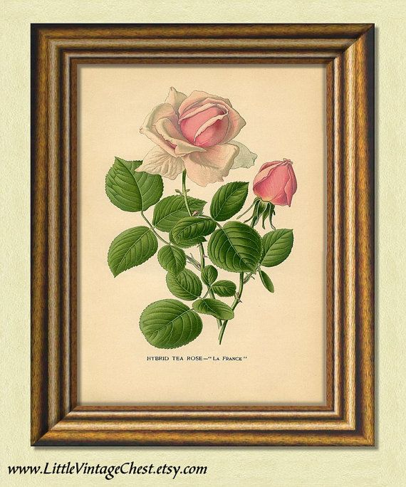 TEA ROSE Antique Botanical Art Prints by littlevintagechest, $7.00