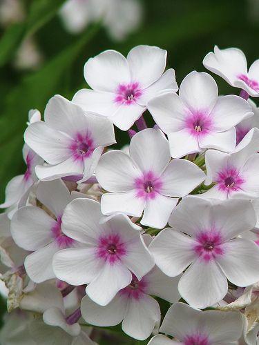 Kein Garten ohne Phlox! Schmetterlinge und Taubenschwänzchen lieben sie.