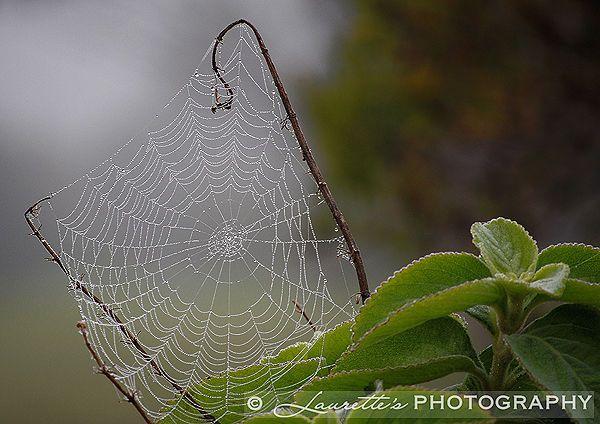 Spiderweb - Photograph