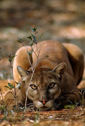 Absolutely beautiful puma