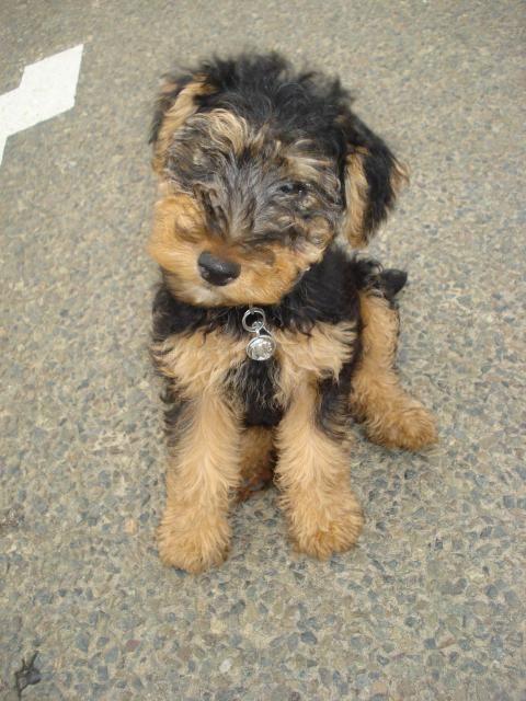 Welsh terrier - Terrier gallois - Les avis et les photos des ...
