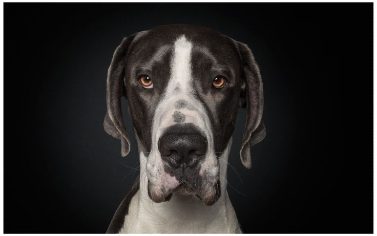 Great Dane, Deutsche Dogge, Dänische Dogge, A Dog's Life, Dog, Portrait, Studio (by Ralph Hargarten)