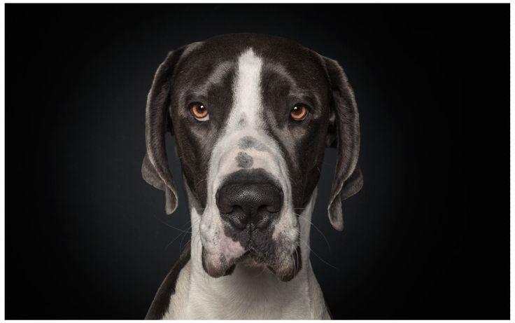 Great Dane, Deutsche Dogge, Dänische Dogge, A Dog's Life, Dog, Portrait, Studio (by Ralph Hargarten)