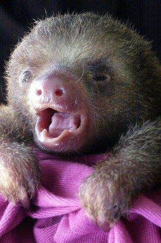 We know we're not supposed to have favorites, but baby sloths will always have a special place in our hearts... I LUV sloths!