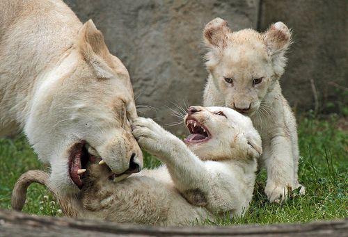 Funny Wildlife, witte leeuwen Rhenen IMG_0273 by j.a.kok on...