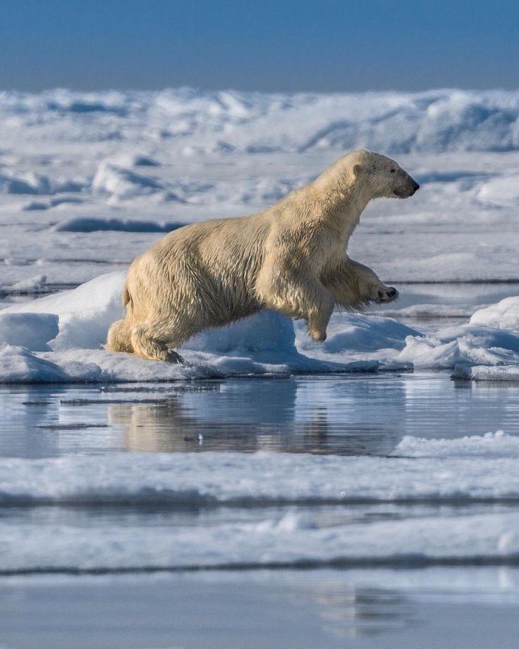 Polar bear jumping and falling through the ice 😂😍 #clumsy #cutenessoverload 💙 #polarbear #sonya7RII #Arctic #NorthPole [ Location: Svalbard, Norway ] #BurnTheBucketlist 🔥 Follow us on Facebook or Instagram @burn_the_bucketlist 😉