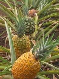 Dole Pineapple Plantation Hawaii, Oahu