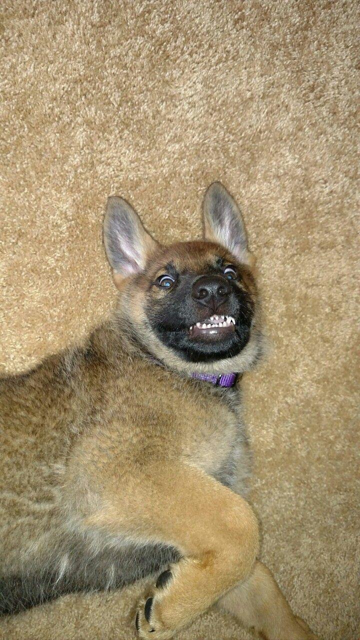 Hey Good Morning In German : Good morning german shepherd puppy mila