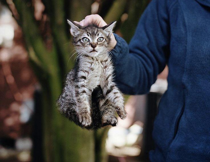 COUP DE GRIFFE ! & RAPPEL TROP de sites mettent à l'adoption des chatons de 8 semaines, parfois et souvent moins !!!!!!! Effectivement, c'est vers huit semaines que les chattes commencent à réellement refuser leurs tétines aux chatons. Seulement si le sevrage alimentaire est bien réalisable à cet âge, le sevrage affectif (ou social) n'est pas réalisé. Dans la nature, les mères chattes apprennent encore bien des choses à leurs chatons après l'arrêt des tétées. C'est alors que les chatons…