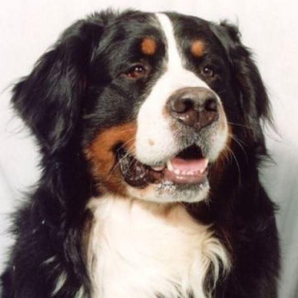 Bernese Mountain Dog Puppy Ohio