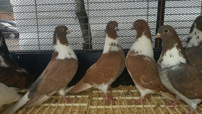 Magpie Tumbler Pigeons for sale