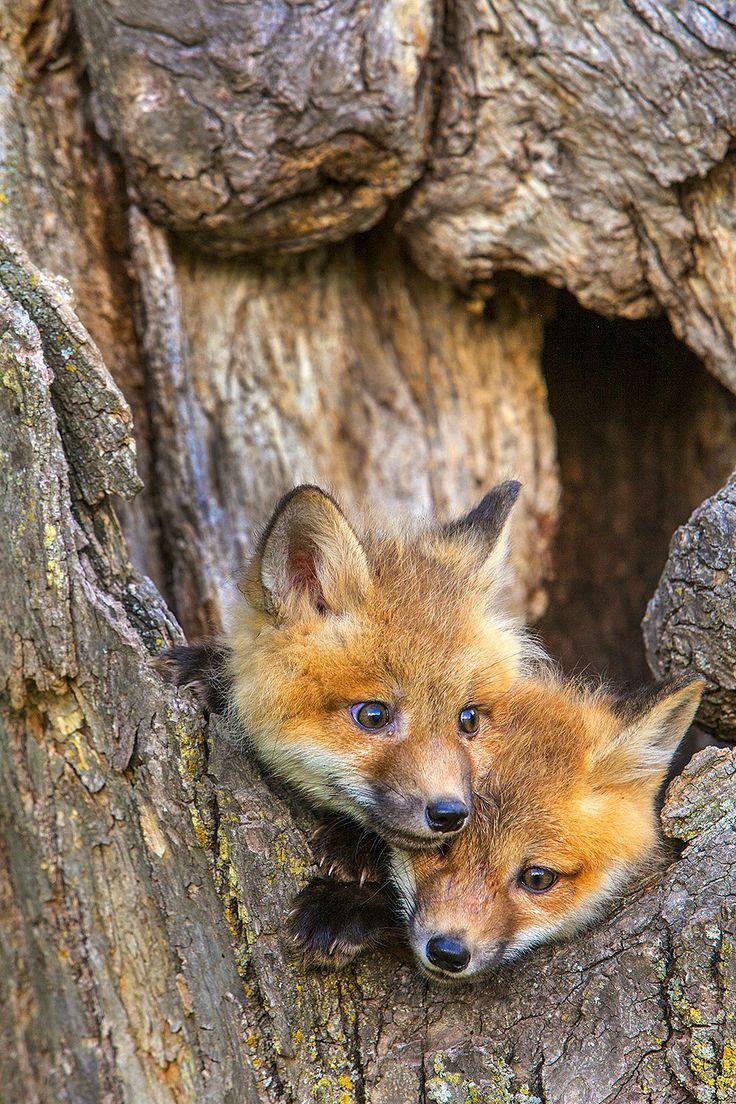 Red Fox Pups, North Minnesota