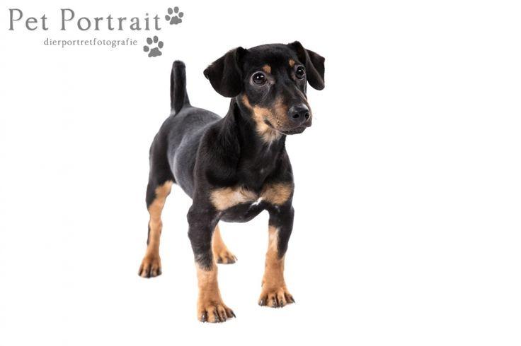 Hondenfotograaf Hillegom - Jack Russell Terriers-7