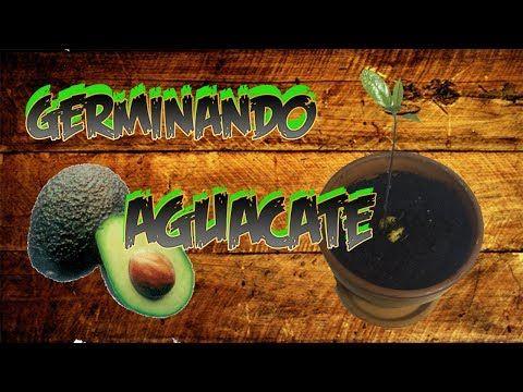 Cómo germinar un hueso de Aguacate o Palta   Cuidar de tus plantas es facilisimo.com