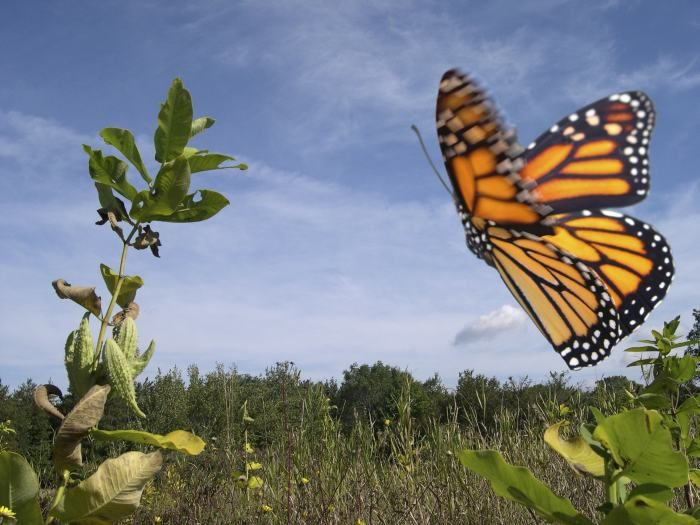 Does a Monarch come to mind?: Monarch butterflies are so ubiquitous throughout North America that when you think of a butterfly, chances are an image of a monarch comes to mind.