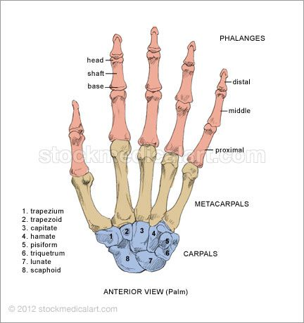 Hand Joints Diagram | Hand X Ray Hand Bones-Anterior Hand Bones-Posterior Hand Muscles ...