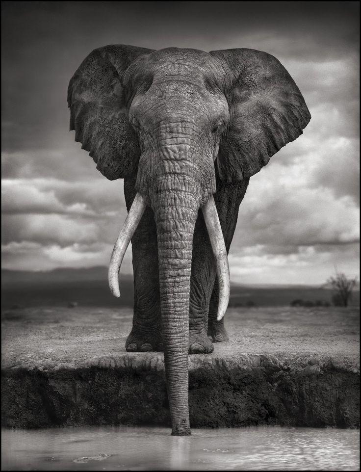nick-brandt-wildlife-animal-black-and-white-portraits-elephant-drinking-amboseli-2007.jpg (1223×1600)