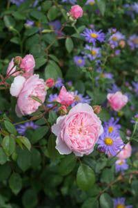 Underplanting roses, Best David Austin Roses, Best roses for borders, Rose borders, Shrub Roses, Rose companion plants, companion planting