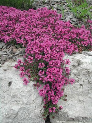 "Creeping Thyme-This miniature thyme is incredibly useful. Only 2""-3"" tall, you can walk in it (releasing its lemony aroma), tuck it between pavers in a garden path, use it as a tidy border or fill in a flower bed. It grows quickly but isn't pushy, delivers texture, fragrance, and flowers, is great for cooking, and requires almost no care. In summer, it's covered with tiny purple blooms that attract honeybees and butterflies. It can even be planted as a lawn that never needs mowing."