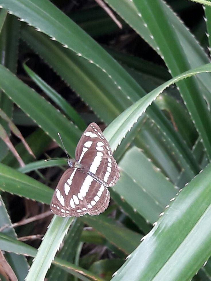 Eukaryota Animalia Arthropoda Hexapoda Lepidoptera Neptis hylas