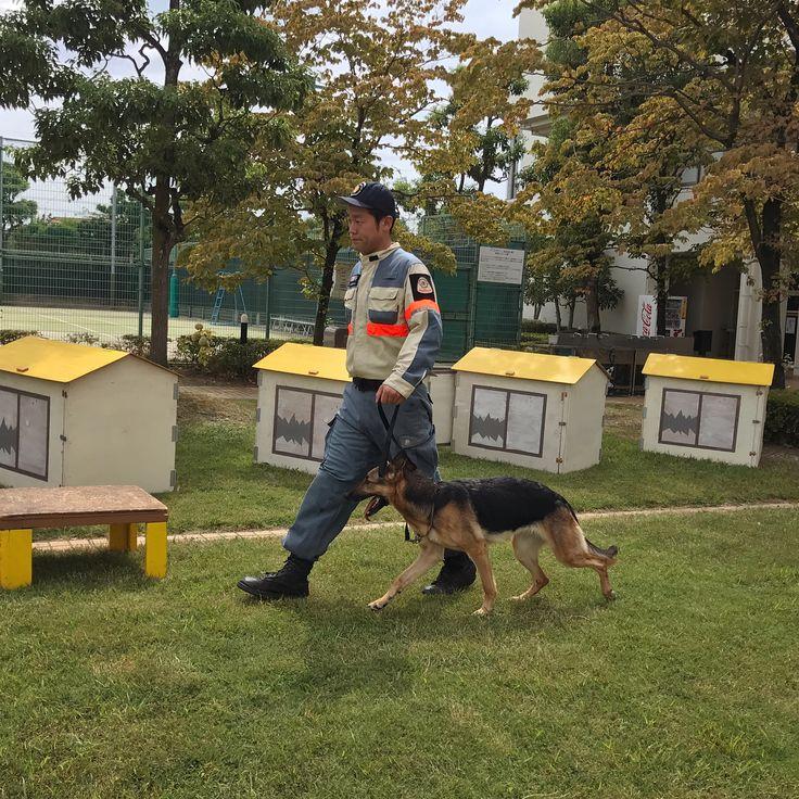 伊丹市にある日本レスキュー協会さん( @happydoggie365 )の災害救助犬の訓練実演を見てみたくて @toitoitoicat メンバーで防災イベントに行ってきました♩ @happydoggie365 さんでは災害救助犬はあらゆる災害現場を再現した施設で訓練を行い、有事の際には国内外を問わず多くの災害現場に出動しているそうです! シェパードのエイトちゃんは女の子なのに、すごくカッコよかった✨ やっぱり大きなワンチャン見てるとドキドキ❤︎カッコイイ〜❤︎ 色んな所で人の為に頑張ってるワンチャンが居るんやなぁ〜まだまだ知らない事がいっぱいです…。 でも動物って本当に賢くて色んな能力持っててすごいなぁ〜✨ #災害救助犬 #日本レスキュー協会  #犬 #dog #ワンコ #伊丹市