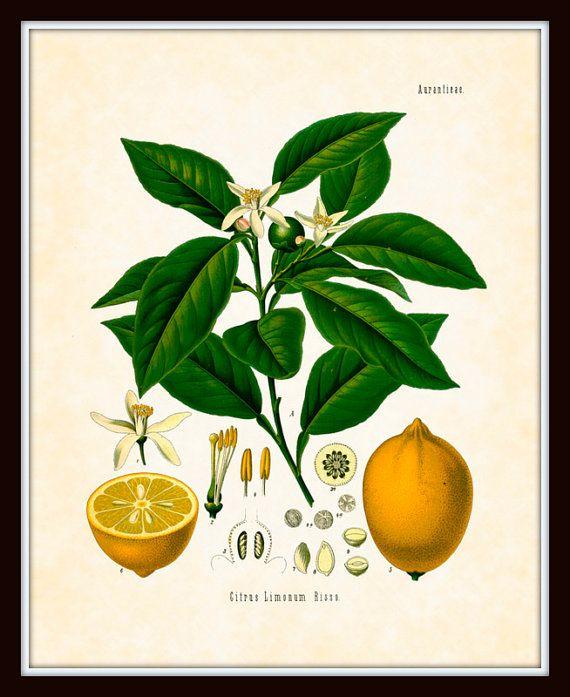Antique Lemon Botanical Art Print 8x10 Series by BelleBotanica, $10.00