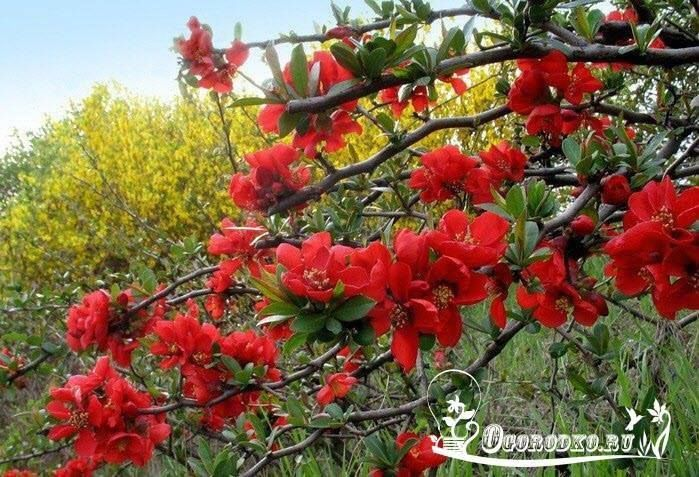 Японская айва: осенний уход и переработка урожая    Айва японская, или хеномелес (Chaenomeles japonica), — многолетний кустарник, одно из самых нарядных и урожайных растений, украшающих участки. Японская айва неприхотлива, декоративна, легко и быстро размножается. Хеномелес можно назвать долгожителем. В хороших условиях он живет 60 — 80 лет.    Трудно сказать, сколько кустиков хеномелеса растет на нашем участке. Могу с уверенностью сказать лишь то, что их очень много. Ощущений тесноты и…