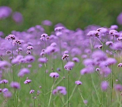 Hohes Eisenkraut - Patagonische Verbene ;  lockt viele Schmetterlinge an.