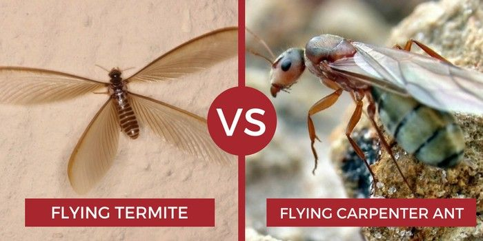 Flying Termite Vs Flying Carpenter Ant Termites Carpenter Ant Termite Control