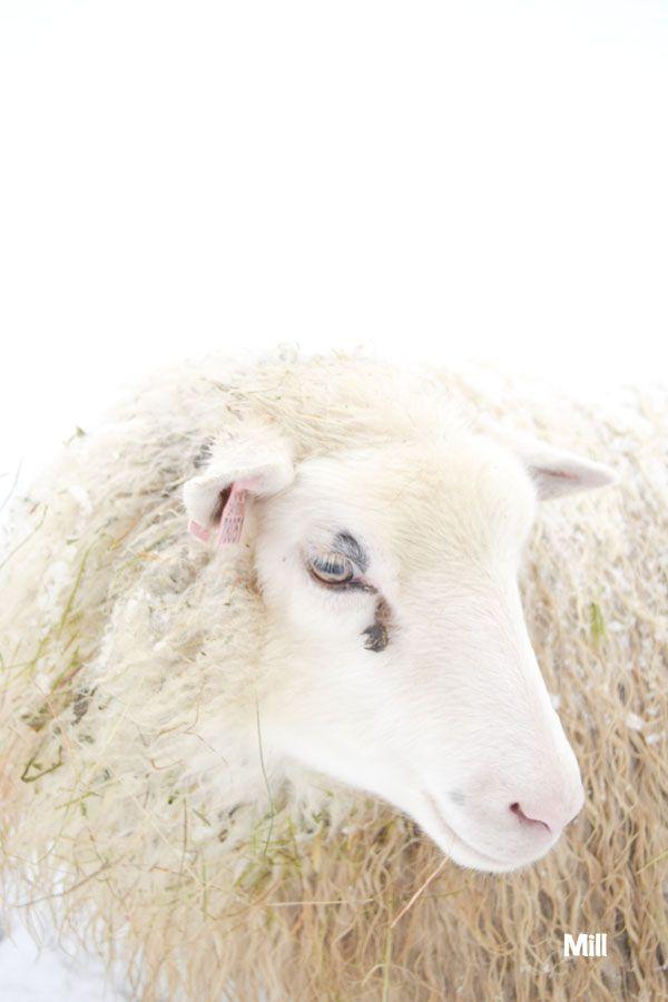 Ella! My my beautiful sheep!