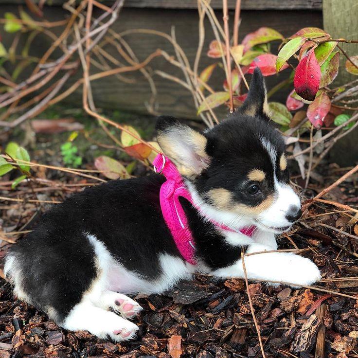 Mini Female Akc Puppies Fluffy &Tri Color