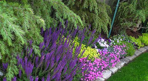 "Beautiful ""May Nights"" perennial saliva and ""Firewitch"" dianthus - look at the contrast with Goldmound Spirea and Angelina sedum - hard to beat that chartreuse color with the strong purple of the salvia...this is color contrast at its very best."