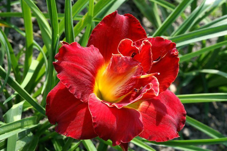 Hemerocallis Highland Lord Daylily Mahoney S Garden