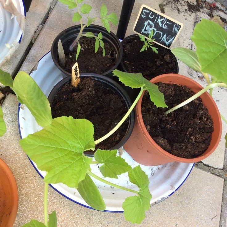 Courgette planten in volle groei naar IJsheiligen, tomaatje voor in pot en eenzame boon!
