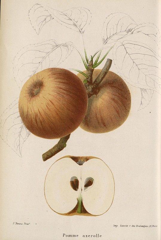 SNHF | Pomme azerolle