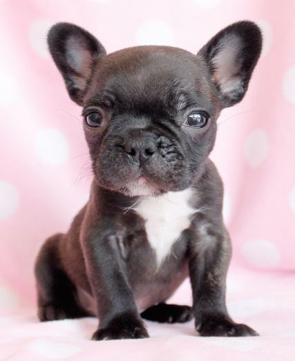 17 Best images about French Bulldog Puppies on Pinterest ...
