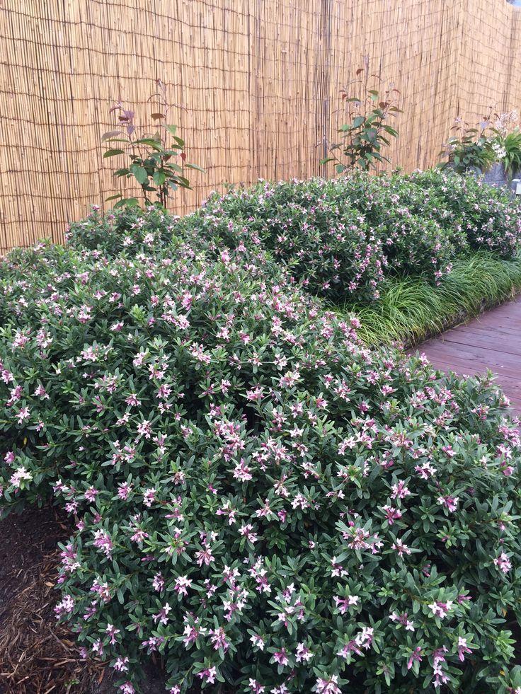 Daphne Spring Pink Eternal Fragrance pink flower hedge