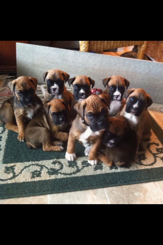 My Boxer Pups Litter 1 Boxerpups Boxer Puppies Boxer Dogs Dog Love