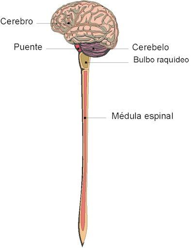 """""""El encéfalo y la médula constituyen los centros de control más importantes. Tomada de la Asociación Alzheimer de Monterrey."""""""