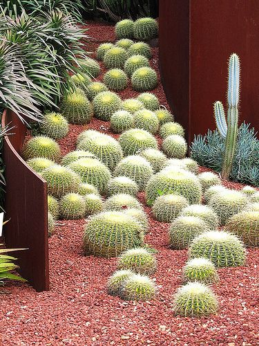 Echinocactus grusonii, is native to Central Mexico but is now rare in the wild. It makes a wonderful architectural plant for warm climates and can take temperatures down to -8C for brief periods.  I love the different sized golden barrels!