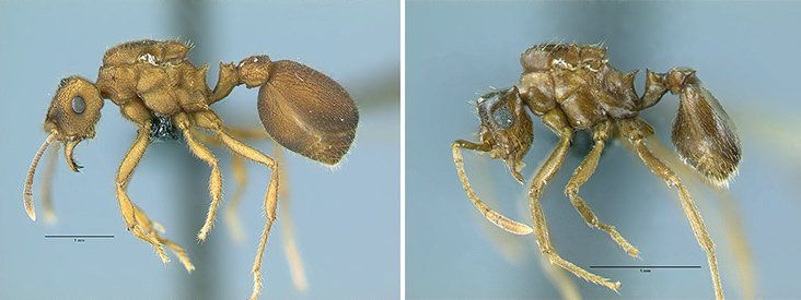 This Ant Species May Support a Controversial Theory on Evolution | At the Smithsonian | Smithsonian