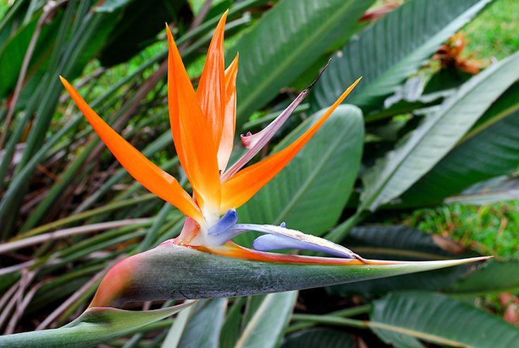 Strelitzia reginae. Oiseau de Paradis. #Tahiti #Flowers #tahitiheritage