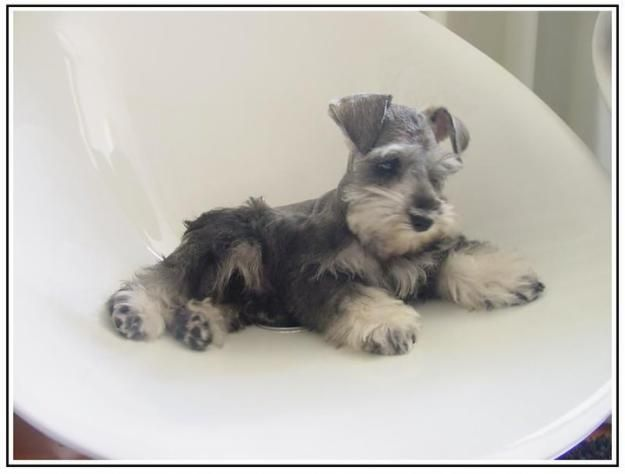 OH my goodness this is such an Sweet and adorable salt and pepper Mini Schnauzer Puppy
