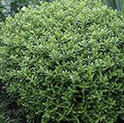 Hebe rakaiensis.  Evergreen with neat, domed shape and white flowers.  Small domes shrubs might suit the front border.