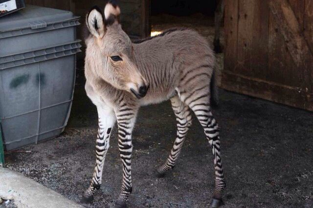How cute is this zonkey!