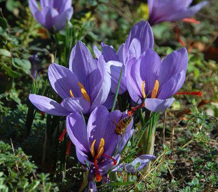 Crocus sativus: Saffron Crocus, White Flower Farm.  LMW:  Included is growing, dividing, and harvesting information.