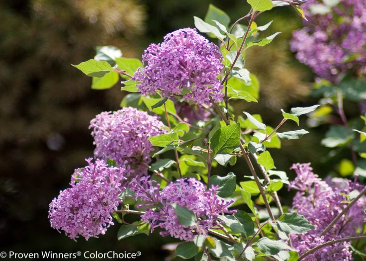Bloomerang® Purple - Reblooming Lilac - Syringa x couldn't have these in Florida, but I can again in Tennessee