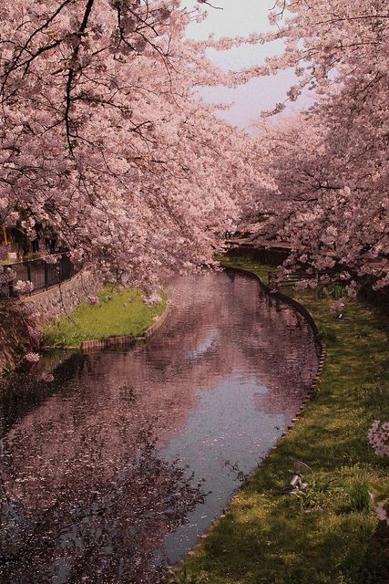 so beautiful   桜 ,cherry blossom, sakura, flor de cerejeira, Japan by Aflânio Tomikawa, via Flickr