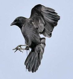 Black Crow Flying - Black birds on Pinterest | Crows, Ravens and ...