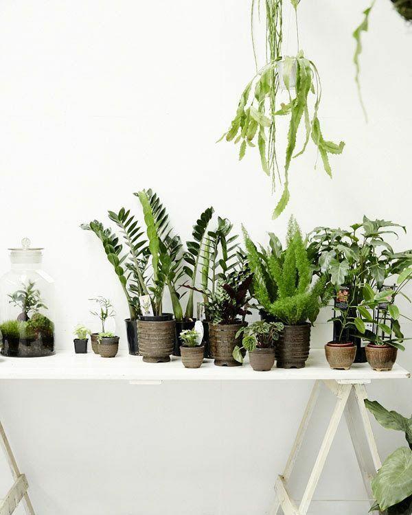 Zimmerpflanzen gl cksfeder und zimmerfarne for Topfpflanzen dekorieren